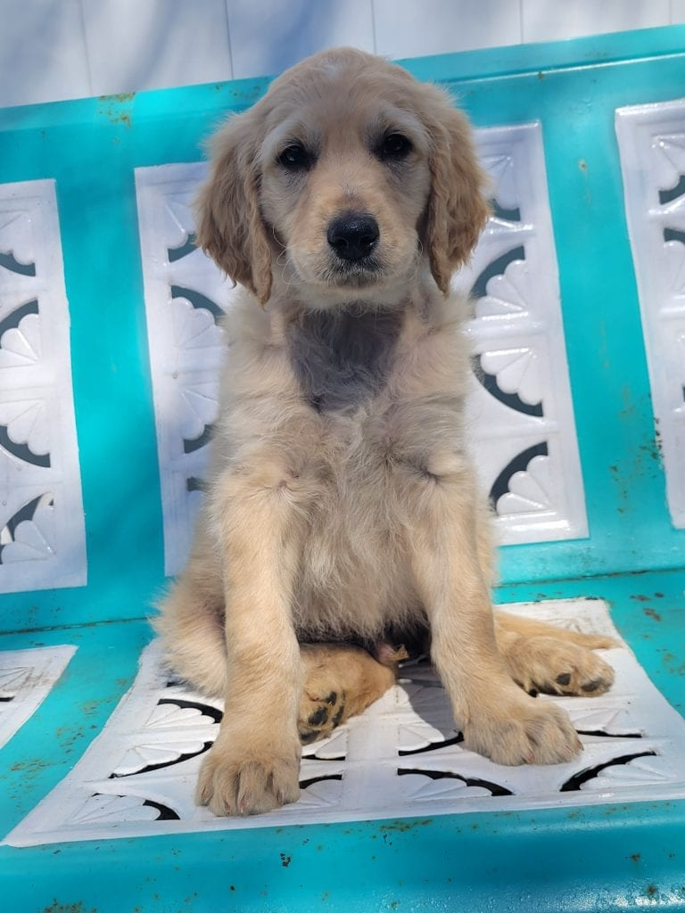 Lt. Blue came from Snow and Moon Acres Eli's litter of F1B Goldendoodles