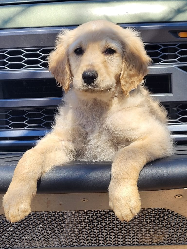 A picture of a Lt. Blue, one of Doodle Breeder's 60lbs Goldendoodles