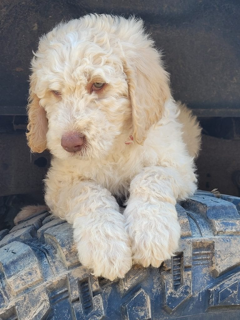 Red is an F1B Goldendoodle that should have Curly cream Goldendoodles