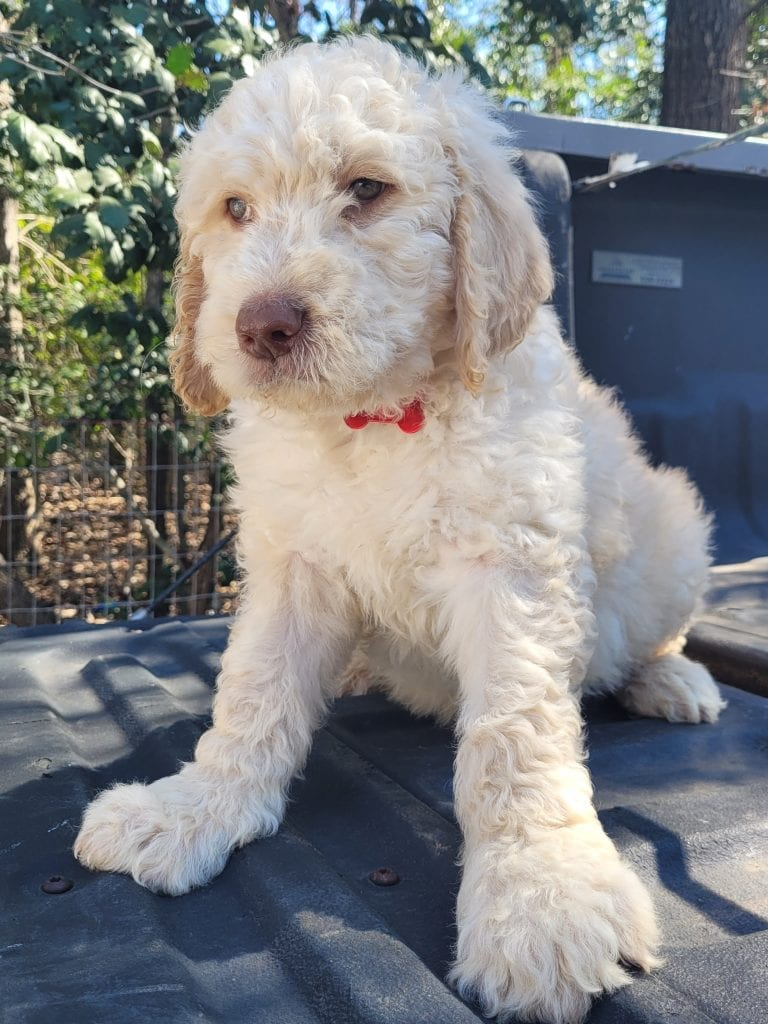 Red came from Snow and Moon Acres Eli's litter of F1B Goldendoodles