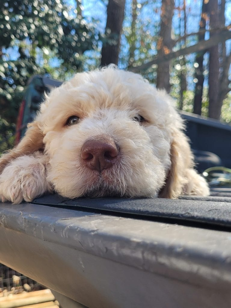 A picture of a Red, one of Doodle Breeder's 60lbs Goldendoodles