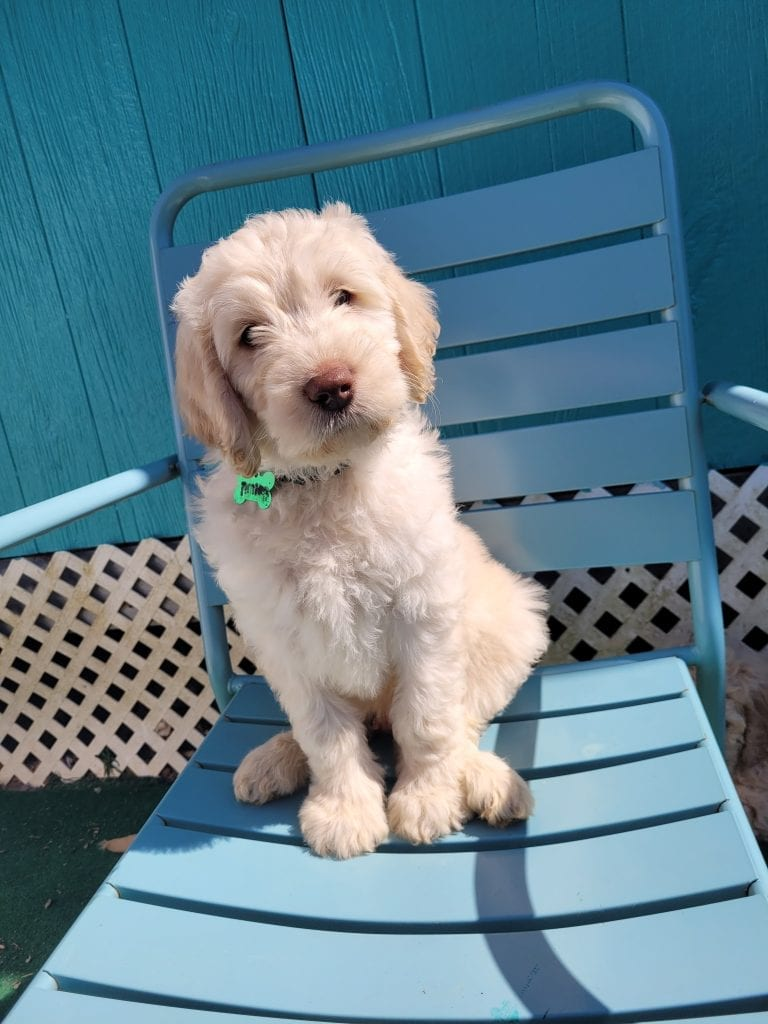 Green came from Snow and Moon Acres Eli's litter of F1B Goldendoodles