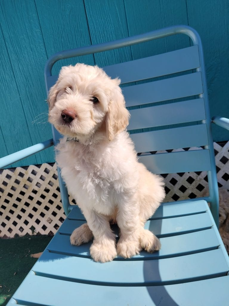 A picture of a Green, one of Doodle Breeder's 60lbs Goldendoodles
