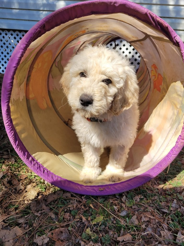 Rainbow came from Snow and Moon Acres Eli's litter of F1B Goldendoodles