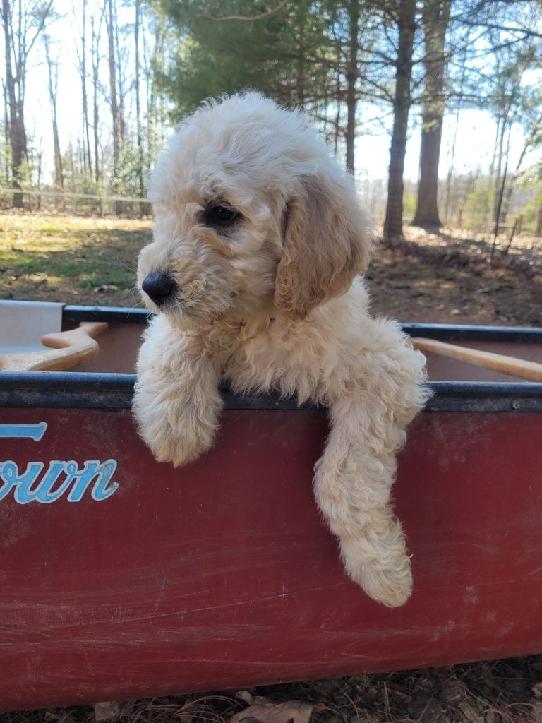 Rainbow is an F1B Goldendoodle that should have Curly cream Goldendoodles