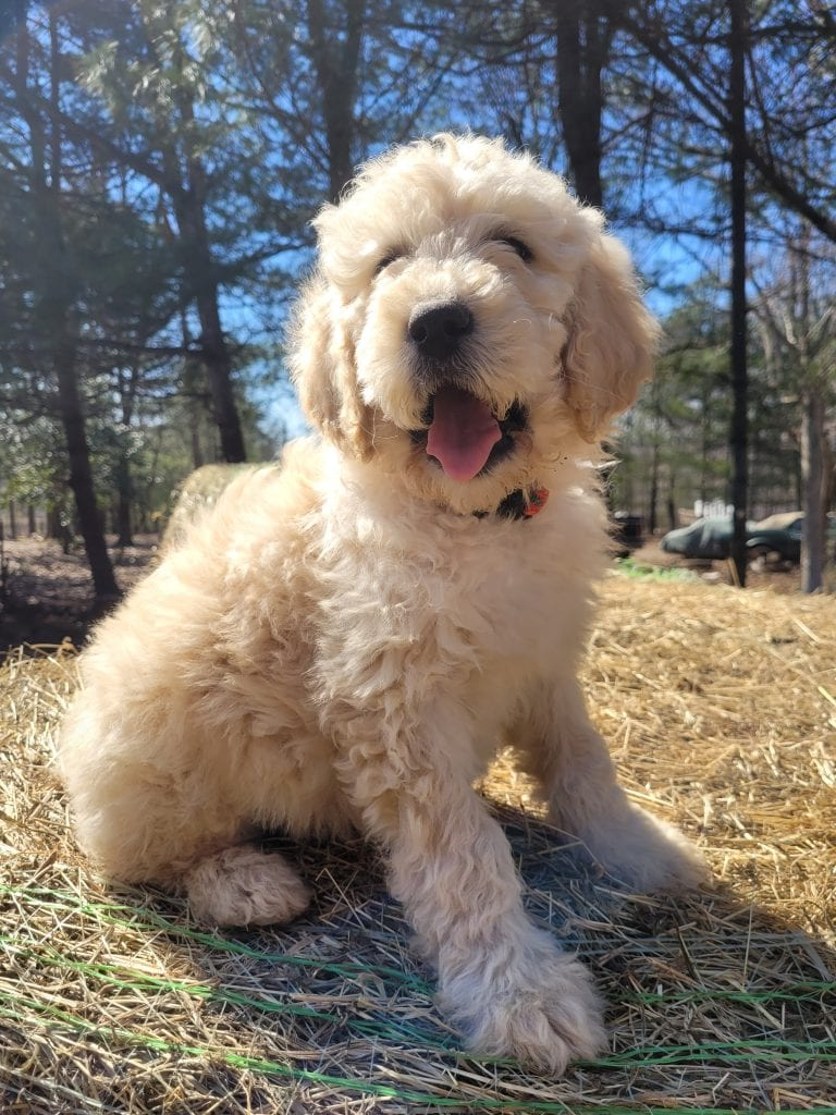 A picture of a Rainbow, one of Doodle Breeder's 60lbs Goldendoodles