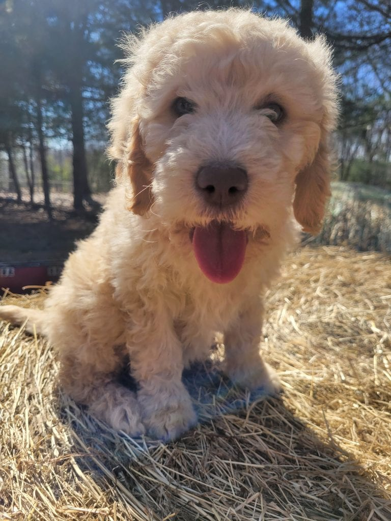 Purple came from Snow and Moon Acres Eli's litter of F1B Goldendoodles