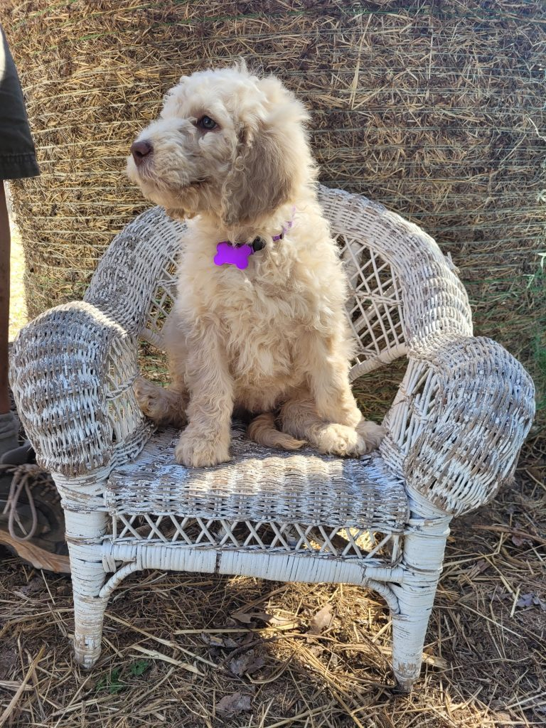 Purple is an F1B Goldendoodle that should have Curly cream Goldendoodles