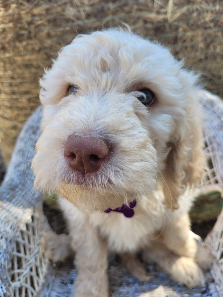A picture of a Purple, one of Doodle Breeder's 60lbs Goldendoodles