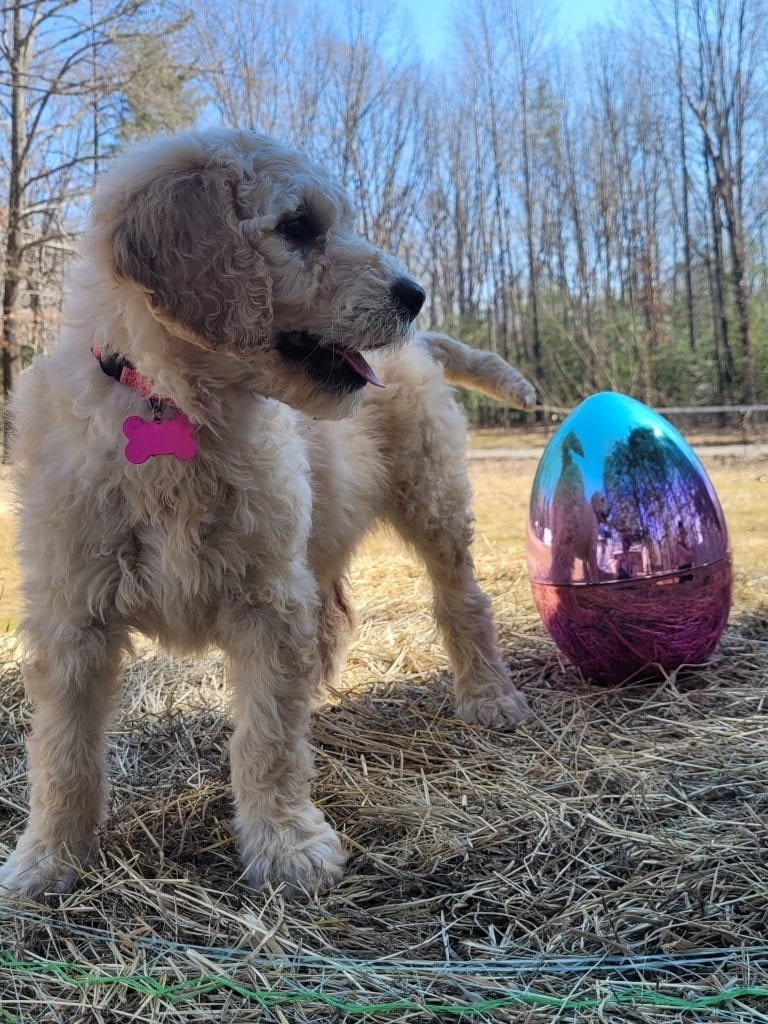 Pink came from Snow and Moon Acres Eli's litter of F1B Goldendoodles