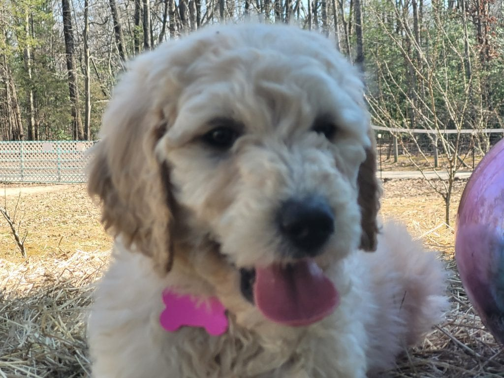 Pink is an F1B Goldendoodle that should have Curly cream Goldendoodles