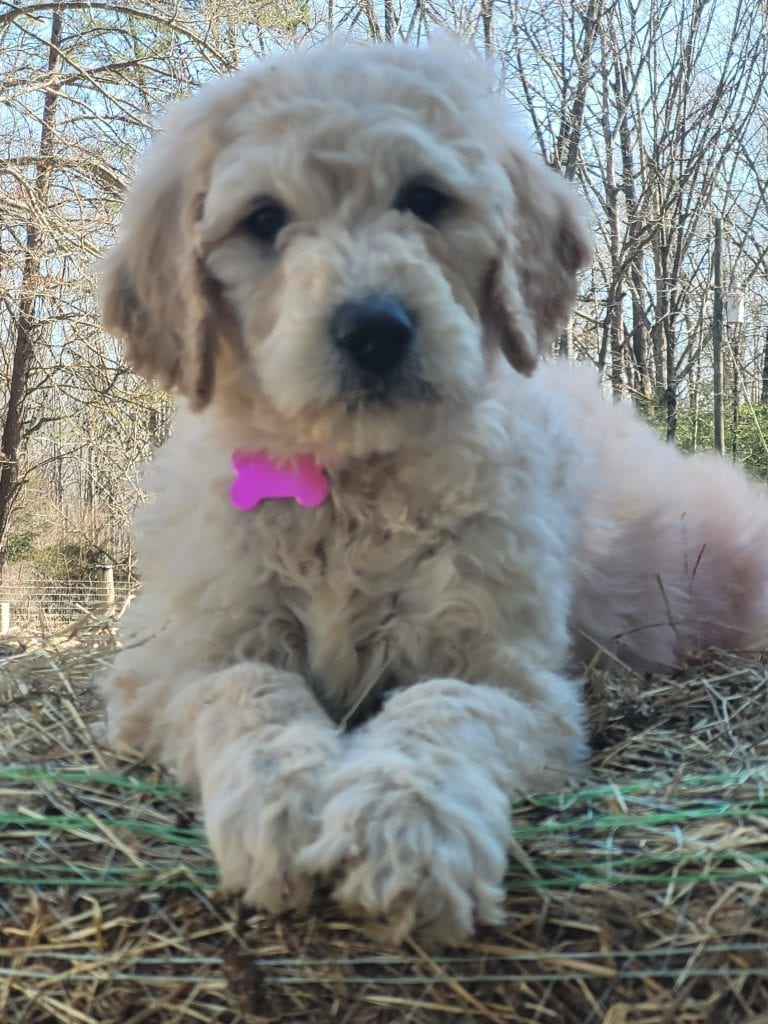 A picture of a Pink, one of Doodle Breeder's 60lbs Goldendoodles