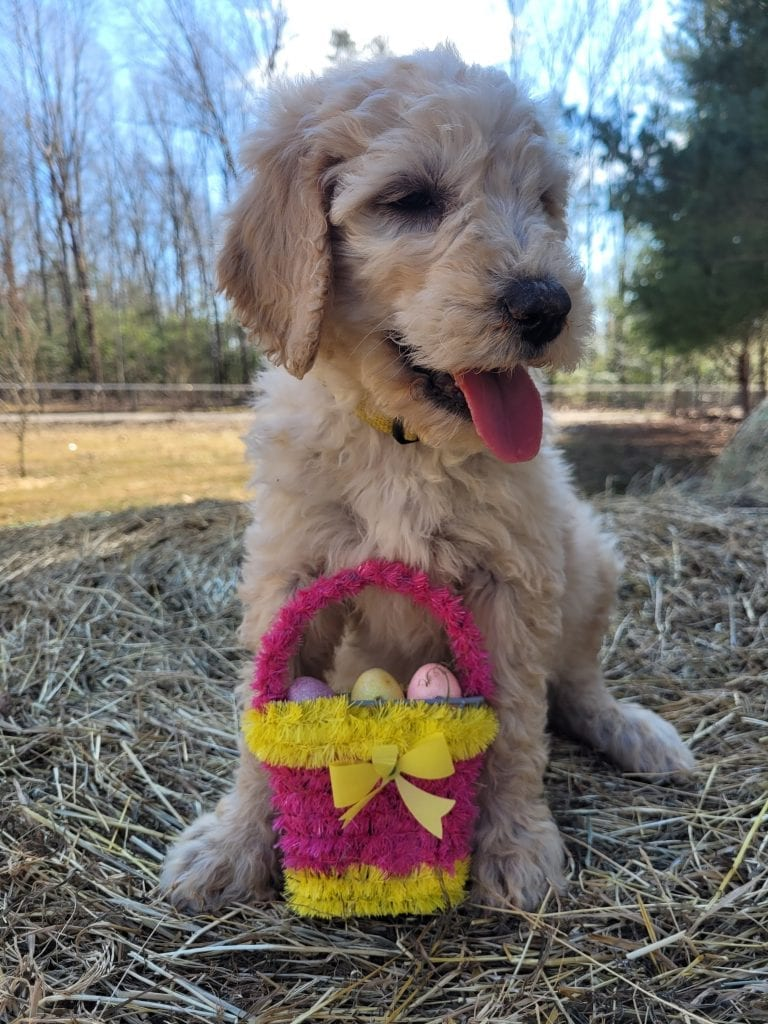 A picture of a Yellow, one of Doodle Breeder's 60lbs Goldendoodles