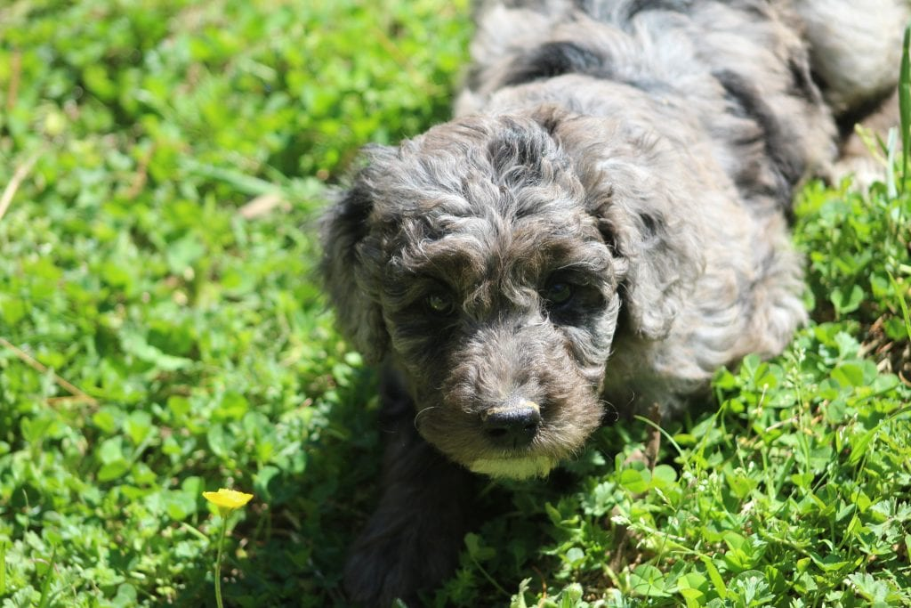 Penny is an F1B Goldendoodle that should have f1b, curly, non shedding, hypoallergenic golden doodles.