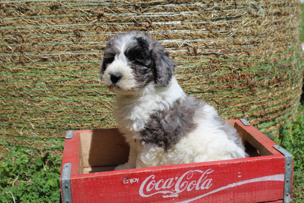 A picture of a Baby, one of Doodle Breeder's 35 pounds Goldendoodles