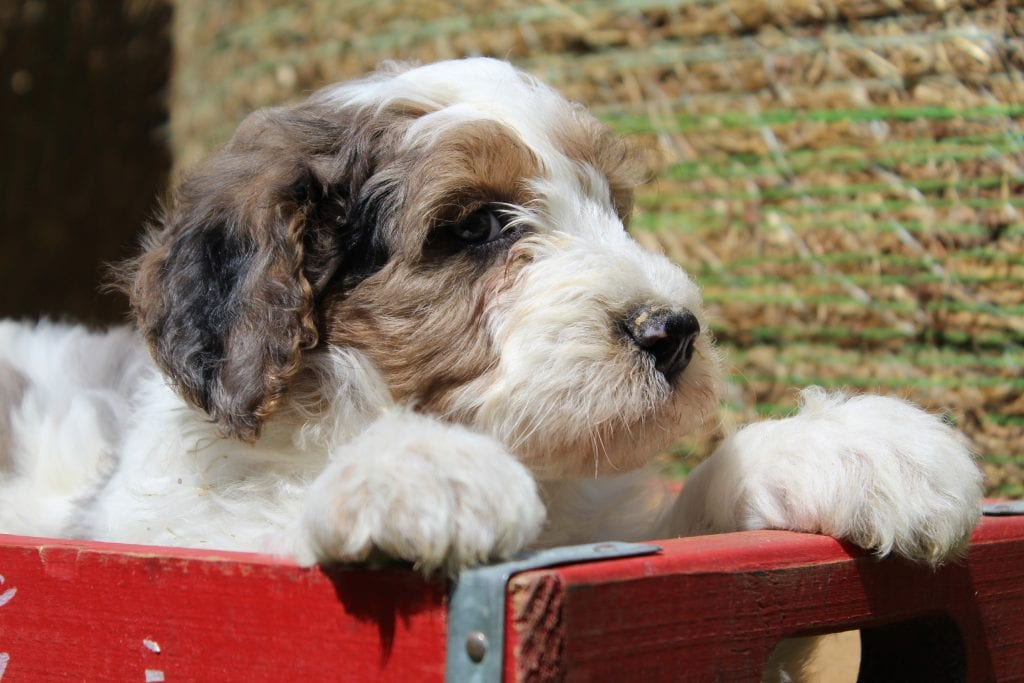 Jake came from Jake and Mr. B's litter of F1B Goldendoodles