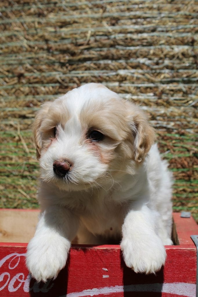 Vivian is an F1B Goldendoodle that should have f1b, curly, non shedding, hypoallergenic golden doodles.