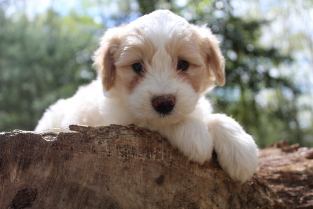 Vivian came from Vivian and Mr. B's litter of F1B Goldendoodles