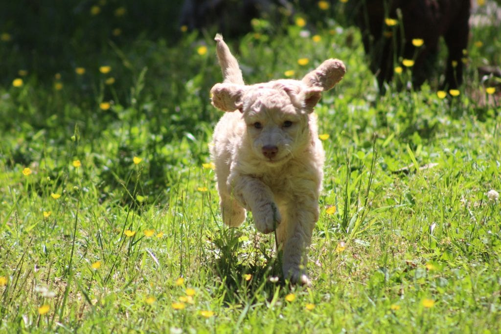 Honey is an F1B Goldendoodle that should have f1b, curly, non shedding, hypoallergenic golden doodles.