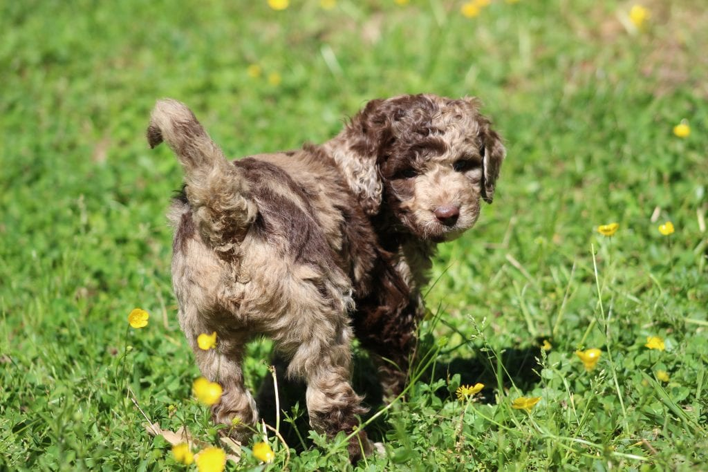 A picture of a Stormy, one of Doodle Breeder's 40 to 50 pounds Goldendoodles