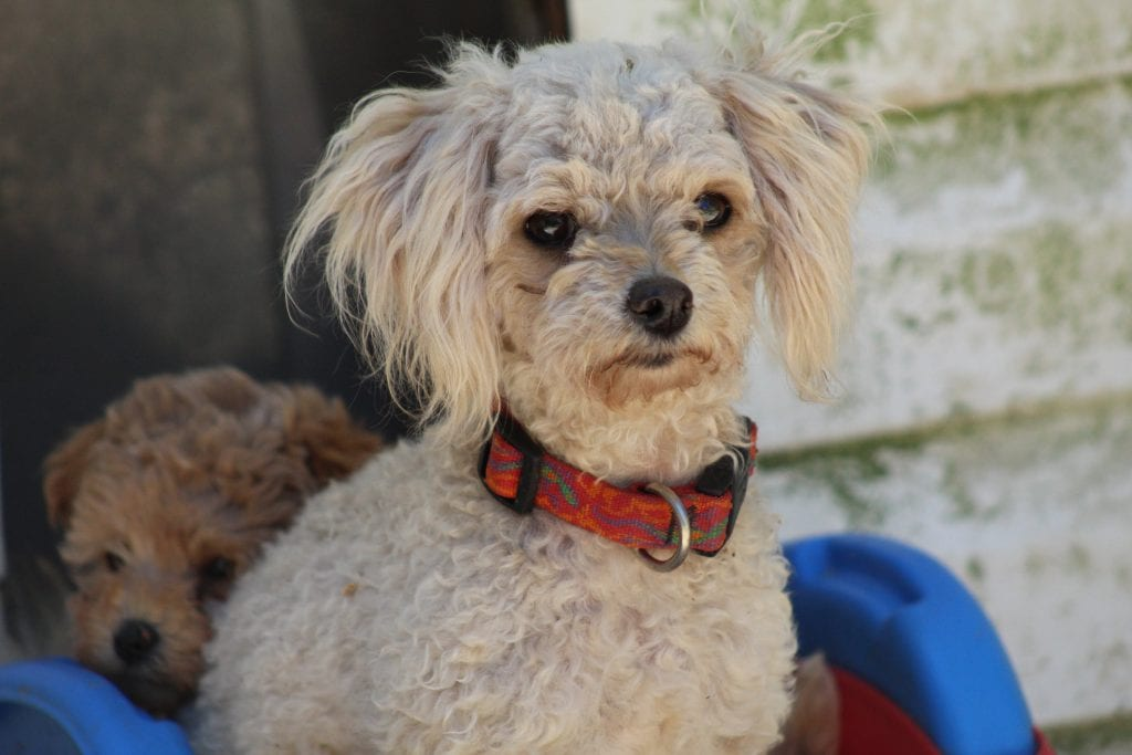 A picture of one of our Toy Poodle mother's, VA Poodles Bridgette.