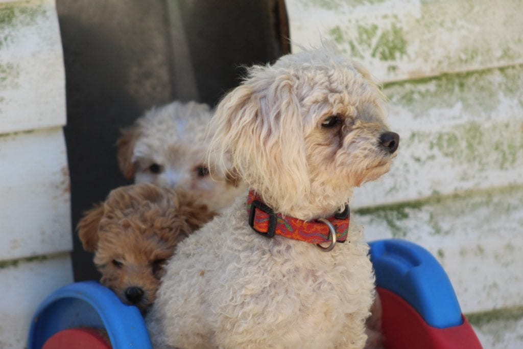 VA Poodles Bridgette is an  Toy Poodle and a mother here at Virginia Poodles and Doodles