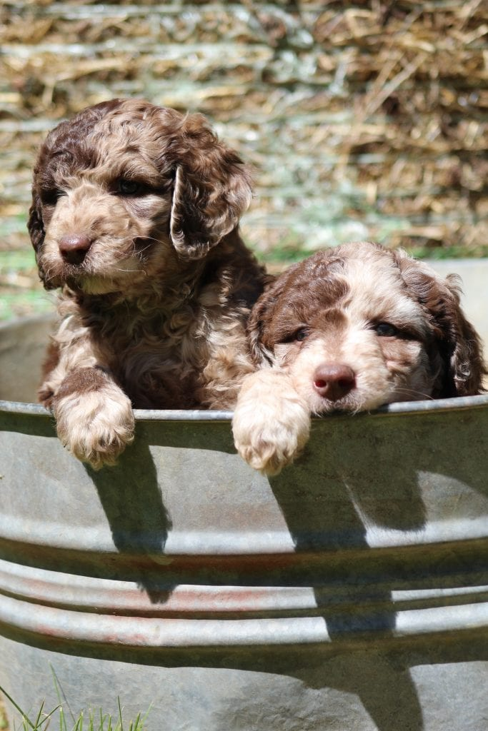 Goldendoodles bred by Virginia Poodles and Doodles in Virginia