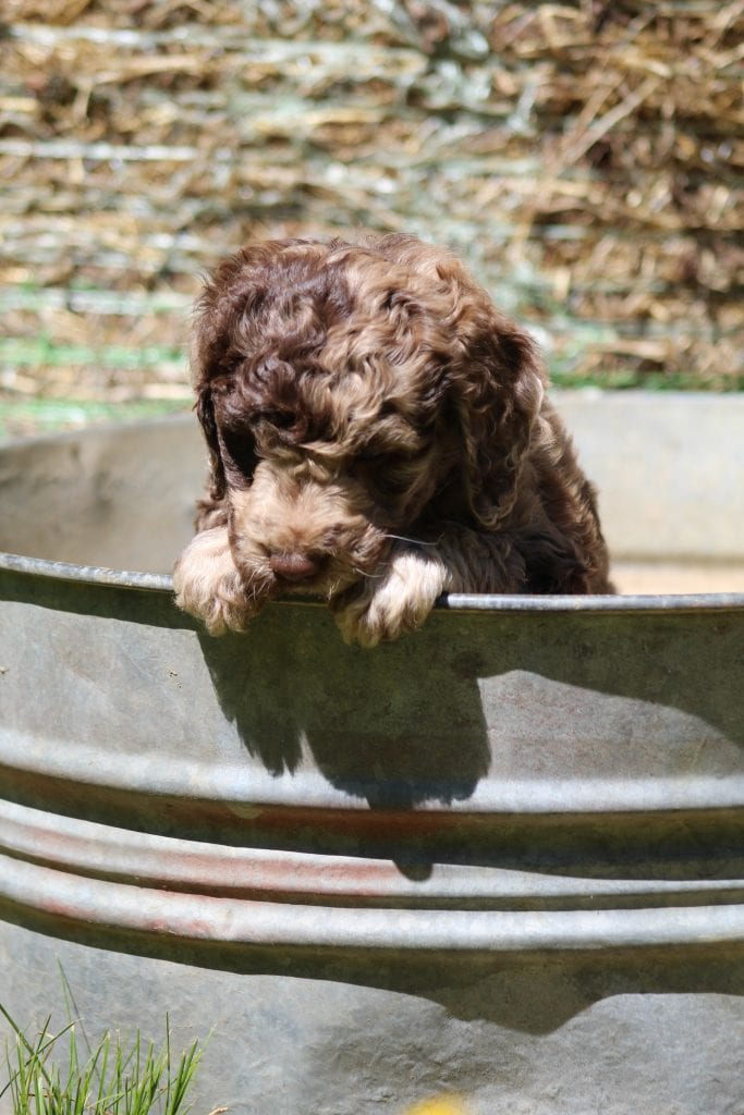 Stormy came from Princess Buttercup and Stormy's litter of F1B Goldendoodles