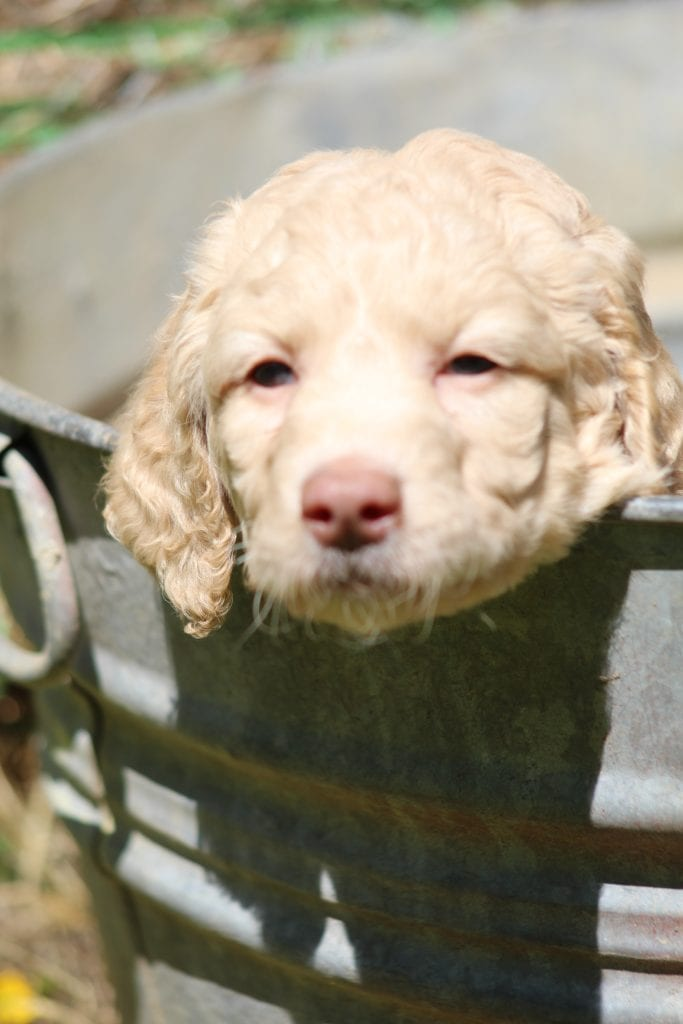 Honey came from Princess Buttercup and Honey's litter of F1B Goldendoodles