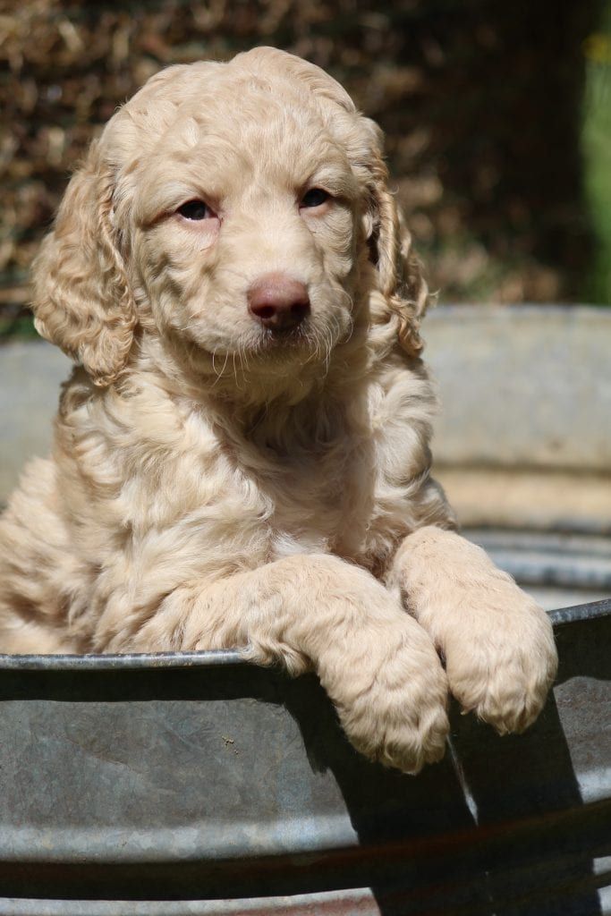 A picture of a Honey, one of Doodle Breeder's 40 to 50 pounds Goldendoodles