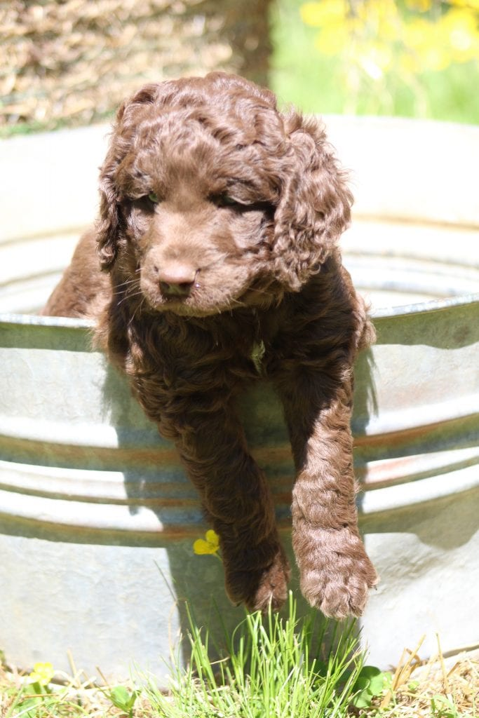A picture of a Cookie, one of Doodle Breeder's 40 to 50 pounds Goldendoodles