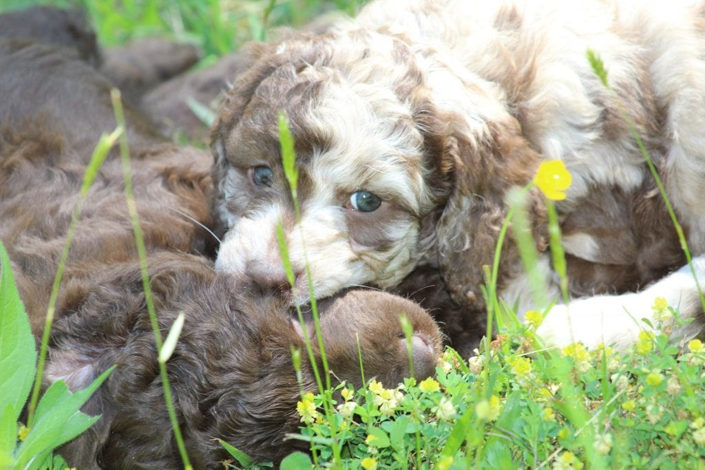 Marble came from Princess Buttercup and Marble's litter of F1B Goldendoodles