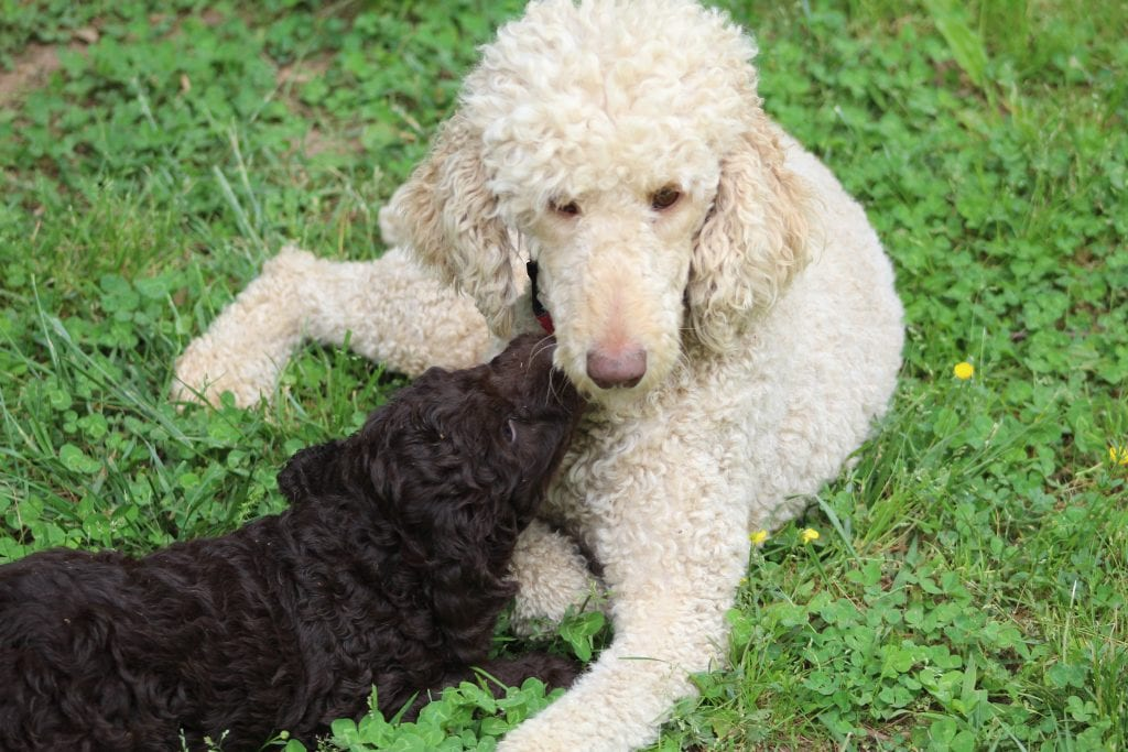 Coco came from Princess Buttercup and Coco's litter of F1B Goldendoodles