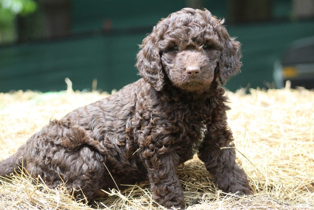 A picture of a Coco, one of Doodle Breeder's 40 to 50 pounds Goldendoodles