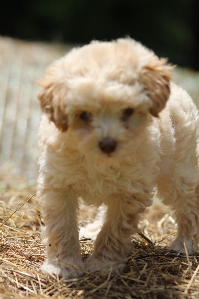 Toy Poodles bred by Virginia Poodles and Doodles in Virginia