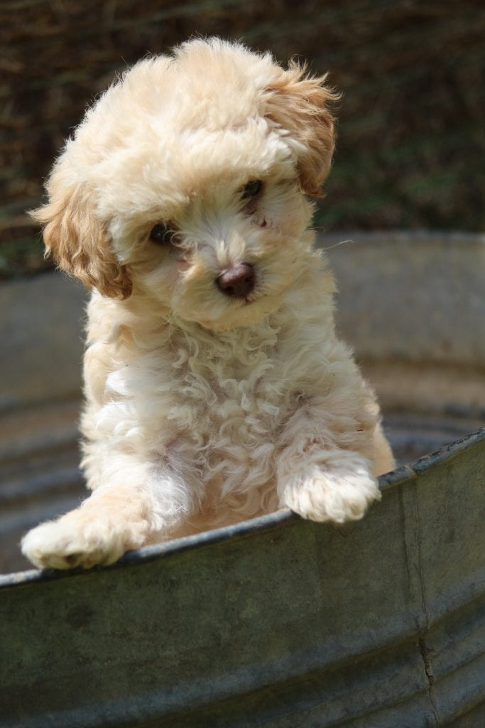 A litter of   Toy Poodles available in Virginia