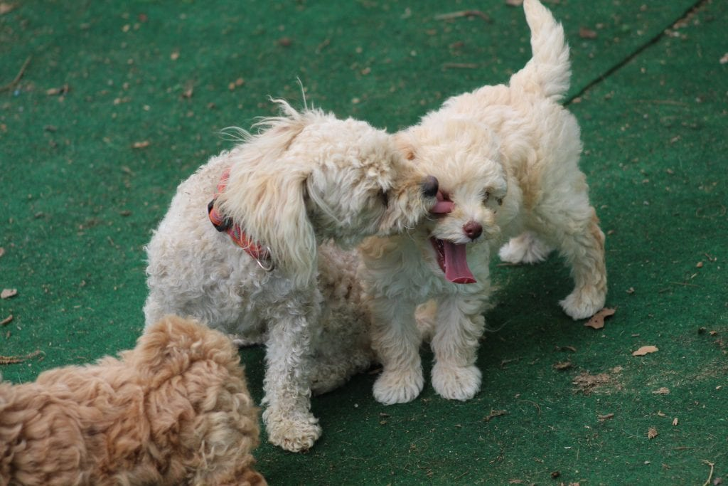 A picture of a group of  Toy Poodles bred in Virginia