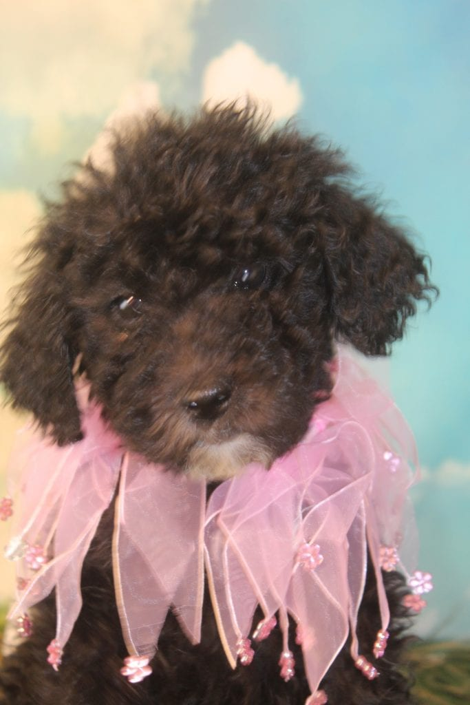 Bernedoodles bred by Virginia Poodles and Doodles in Virginia