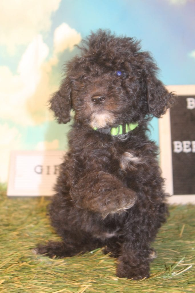 F1B 30 to 35 pounds Bernedoodles with Curly non-shedding f1b bernedoodles