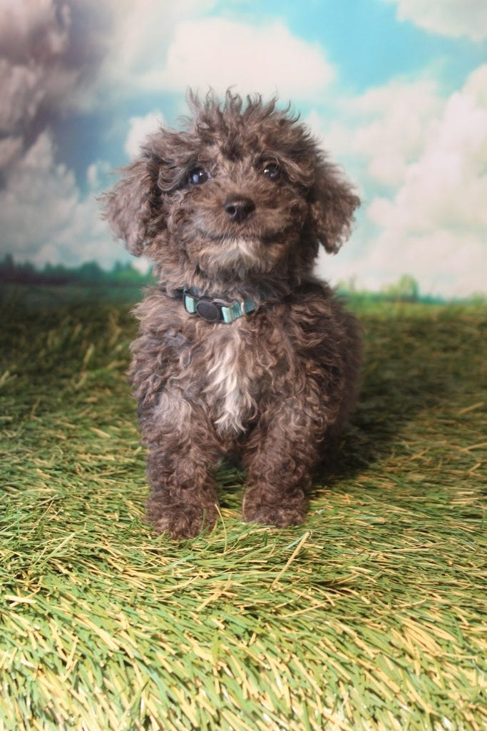 Buster is an F1B Bernedoodle that should have Curly non-shedding f1b bernedoodles