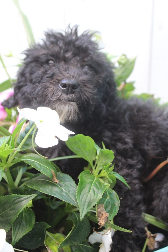 Lisa is an F1B Bernedoodle that should have Curly non-shedding f1b bernedoodles