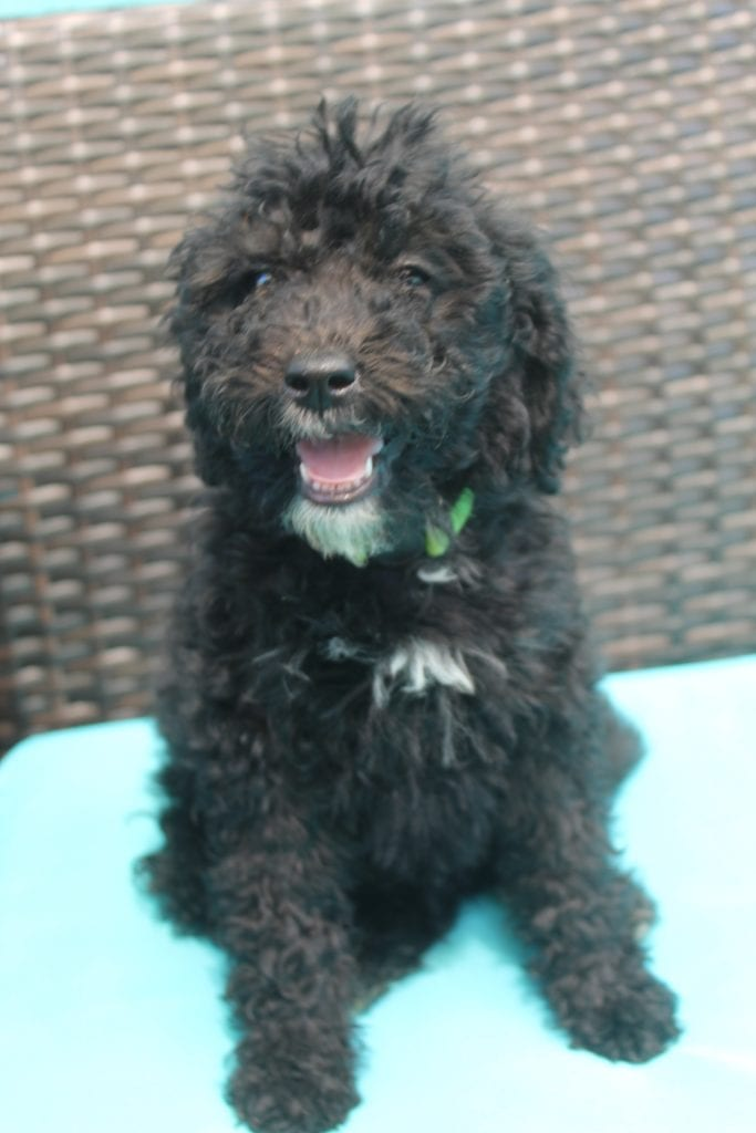 """Lisa came from Last of the Summer Wine """"Brandy"""" and Mort's litter of F1B Bernedoodles"""