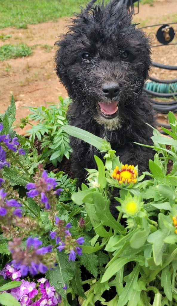 A picture of a Lisa, one of Doodle Breeder's 30 to 35 pounds Bernedoodles
