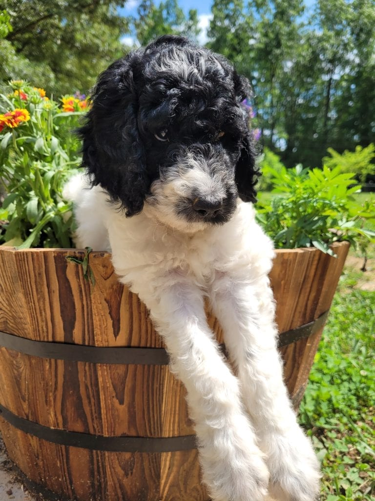 Millie came from Brittney and Mr. B's litter of F1B Goldendoodles