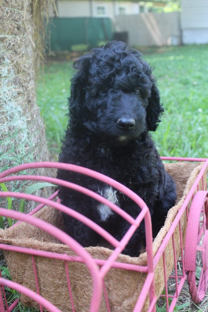 A picture of a Chase, one of Doodle Breeder's 40 to 50 pounds Goldendoodles