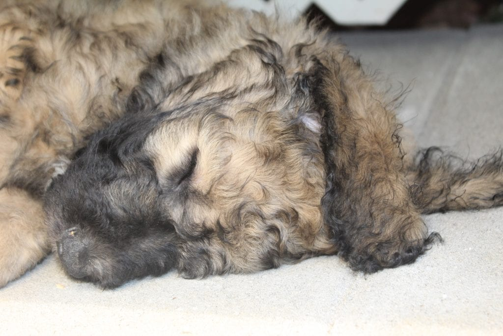 Rex is an F1B Goldendoodle that should have f1b, curly, non shedding, hypoallergenic golden doodles.