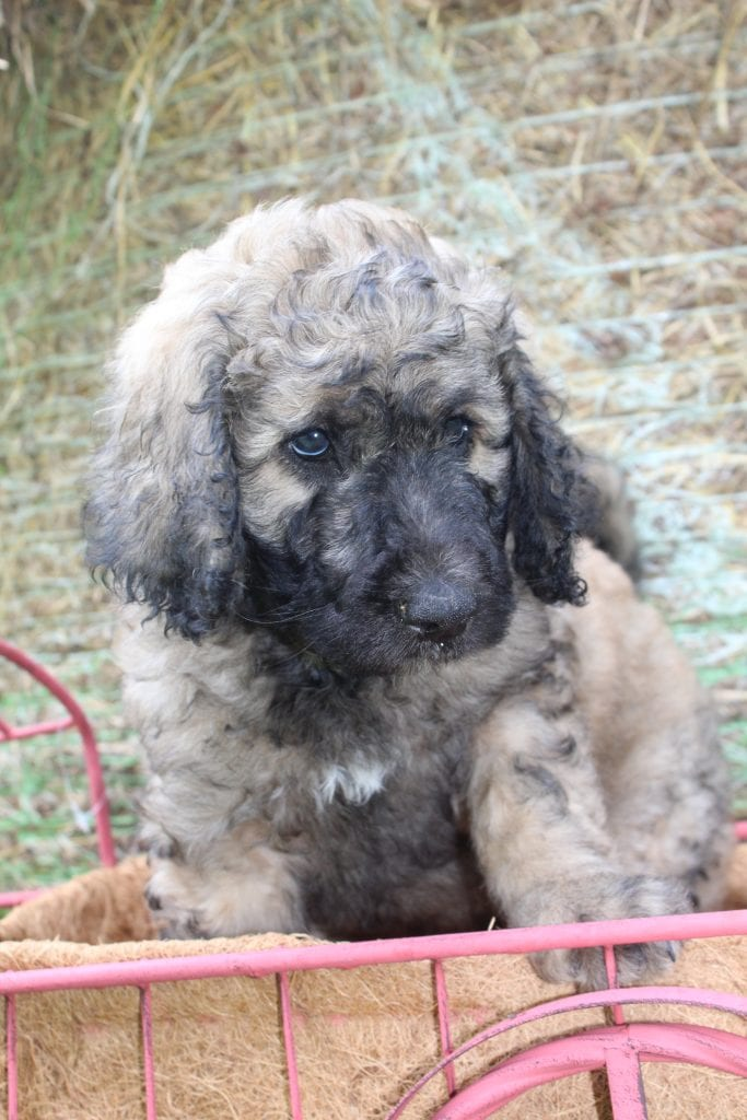 Rex came from Brittney and Mr. B's litter of F1B Goldendoodles