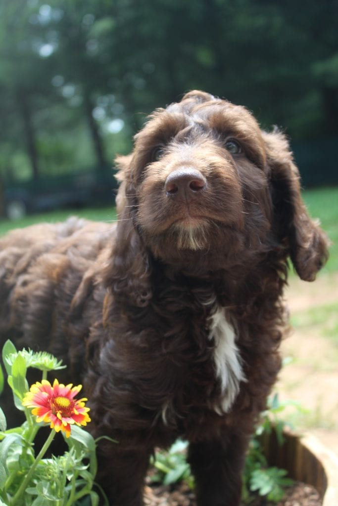 A picture of a Shiloh, one of Doodle Breeder's 40 to 50 pounds Goldendoodles