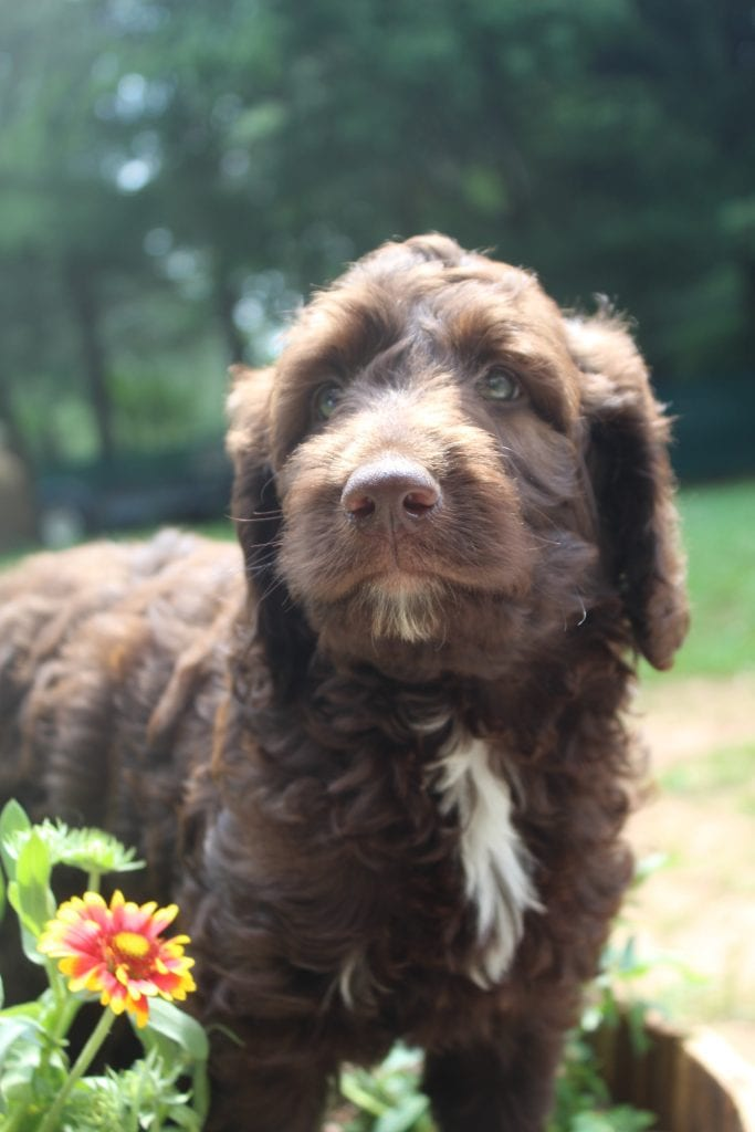 Shiloh is an F1B Goldendoodle that should have f1b, curly, non shedding, hypoallergenic golden doodles.