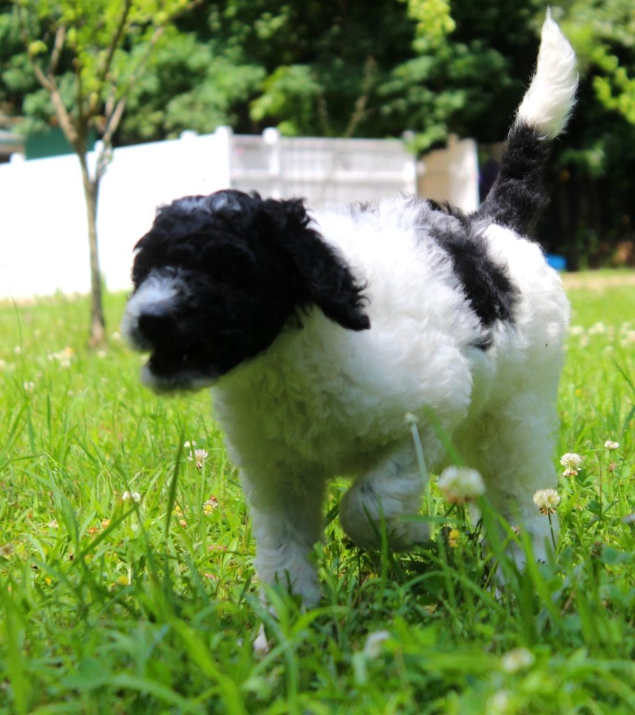 A picture of a Millie, one of Doodle Breeder's 40 to 50 pounds Goldendoodles